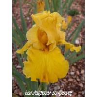 Iris 'Gold Country'