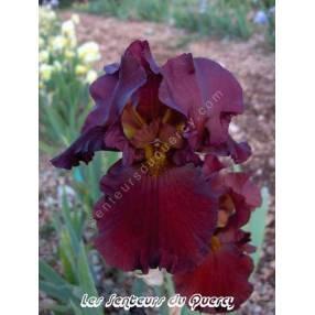 Iris 'New Centurion'