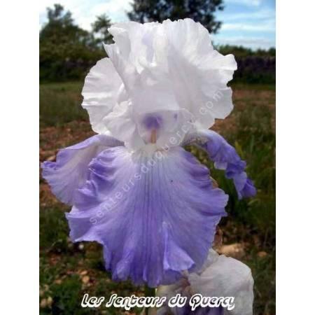 Iris 'Northwest Pride'