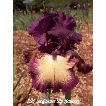 Iris 'Ostentatious'