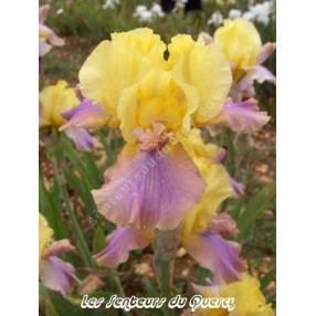 Iris 'Pegas'
