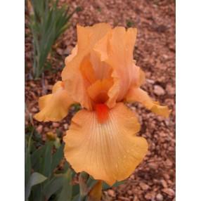 Iris 'Piroska'
