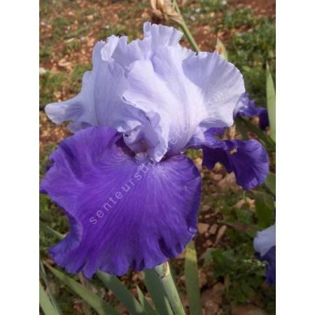 Iris 'Proud Tradition'