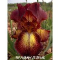 Iris 'Provencal'
