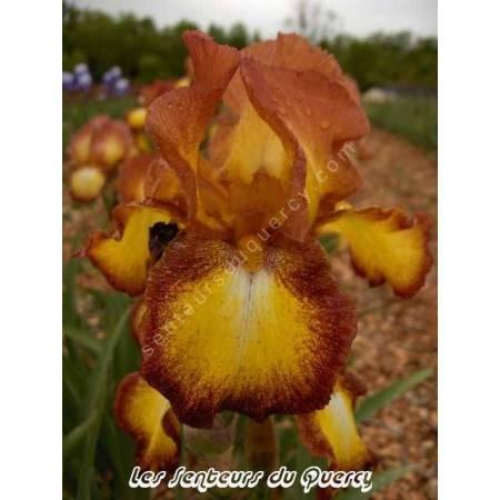 Iris 'Spreckles'