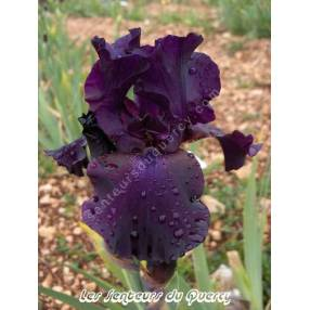 Iris 'Superstition'