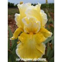 Iris 'Via Domitia'