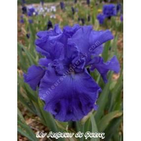 Iris 'Yakina Blue'