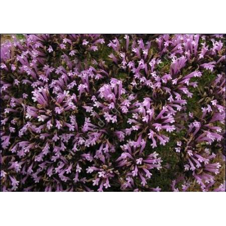 Thymus longiflorus, Thym à longues fleurs