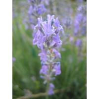 Lavandula angustifolia - Vraie Lavande