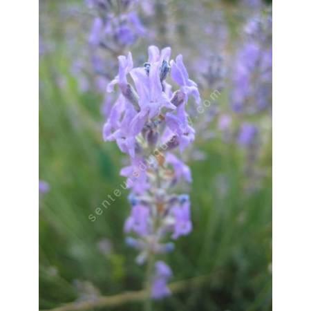 Lavandula angustifolia, Vraie Lavande