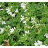 Campanula poscharskyana 'Schneeranke' - Campanule des murailles blanche
