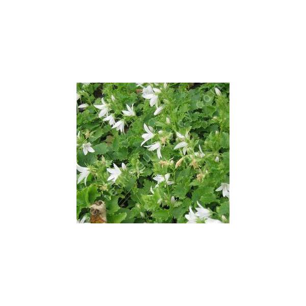 Campanula poscharskyana 'Schneeranke', Campanule des murailles blanche