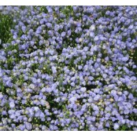 Campanula cochleariifolia 'Blaue Taube' - Campanule des murailles bleu double