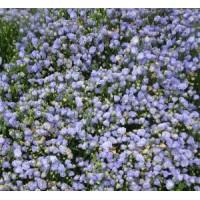 Campanula cochleariifolia 'Blaue Taube' - Campanule