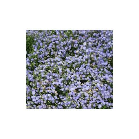 Campanula cochleariifolia 39 blaue taube 39 campanule de rocaille - Campanule des murs ...