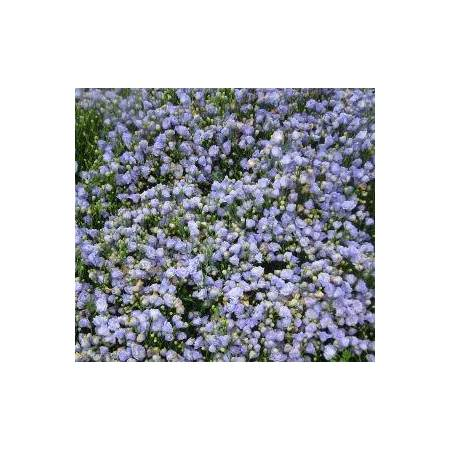 Campanula cochleariifolia 'Blaue Taube', Campanule