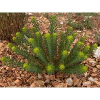 Euphorbia seguieriana subsp. niciciana - Euphorbe de Sibérie