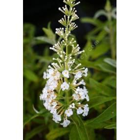 Buddleja davidii 'White Bouquet', Arbre aux papillons blanc