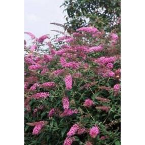 Buddleja 'Pink Delight' - Arbre aux papillons rose
