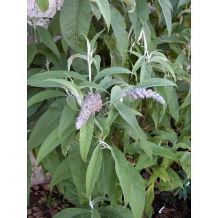 Buddleja nivea - Arbre aux papillons du Yunnan
