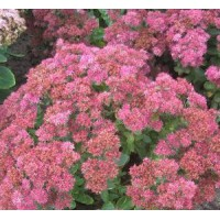 Sedum 'Carl' - Grand Orpin