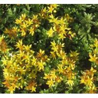 Phedimus floriferus 'Weihenstephaner Gold' - Sedum