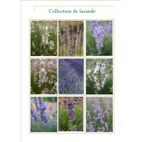 Collection Lavandes angustifolia