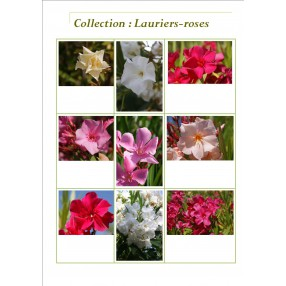 Collection de Lauriers-roses - Nerium