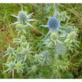 Eryngium planum, Chardon bleu, Panicaut