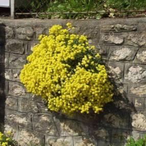 Aurinia saxatile, syn : Alyssum saxatile, Corbeille d'or