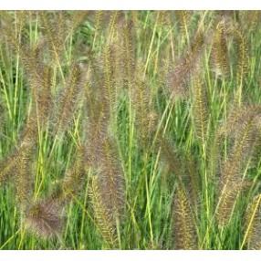 Pennisetum alopecuroides 'Goldstrich'