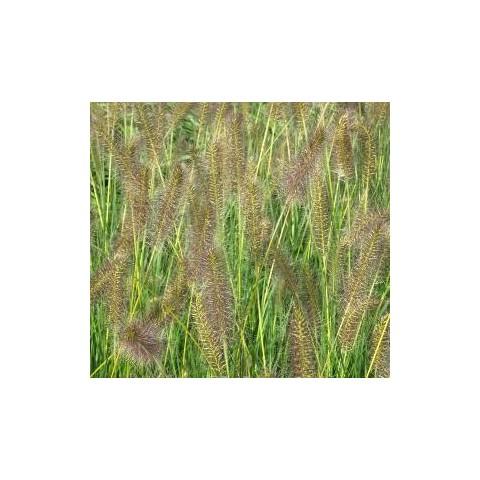 https://www.senteursduquercy.com/2510-thickbox/pennisetum-alopecuroides-goldstrich-.jpg