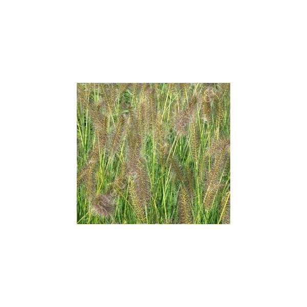 Pennisetum alopecuroides 'Goldstrich' - Herbe aux écouvillons