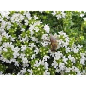 Thymus serpyllum var. albus, Serpolet à floraison blanche