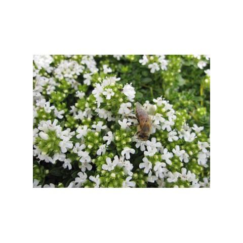 Thymus serpyllum var. albus - Serpolet à floraison blanche