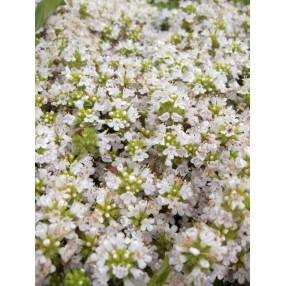 Thymus serpyllum 'Amadé' - Serpolet à odeur de citron