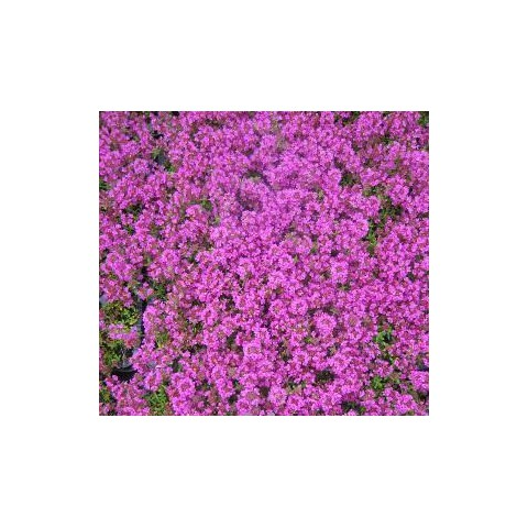 https://www.senteursduquercy.com/2591-thickbox/thymus-purple-beauty-coccineus-group.jpg