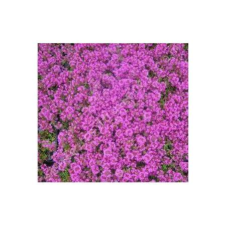 Thymus 'Purple Beauty' (Coccineus Group)