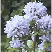 Campanula glomerata 'Emerald' - Campanule glomérée bleu clair