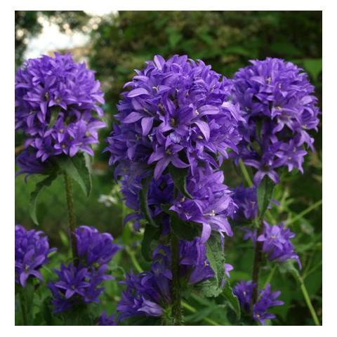Campanula glomerata 'Joan Elliott' - Campanule glomérée violet foncé