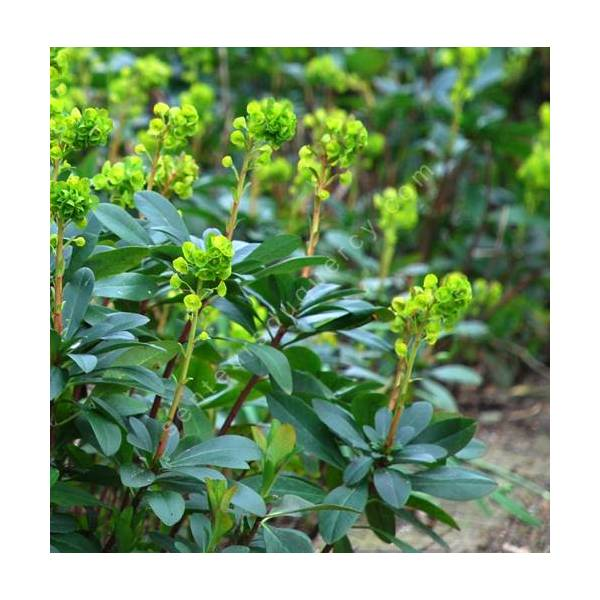 Euphorbia amygdaloides var. robbiae - Euphorbe des bois