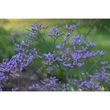 Limonium latifolium, Statice vivace