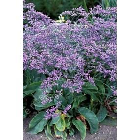 Limonium latifolium - Statice vivace