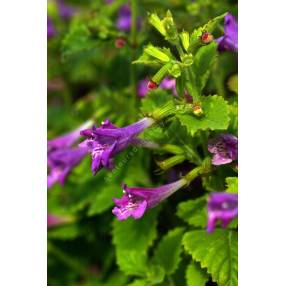 Calamintha grandiflora - Thé de l'Aubrac