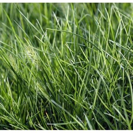 Pennisetum alopecuroides 'Little Honey' - Herbe aux écouvillons panachée