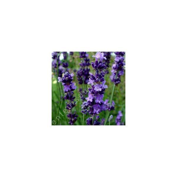 Lavandula angustifolia 'Charlie' - Vraie Lavande