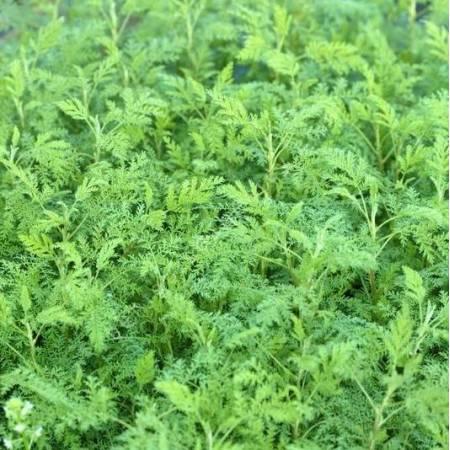 Artemisia abrotanum 'Courson' - Armoise