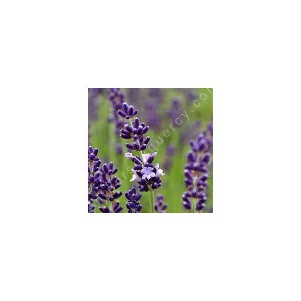 Lavandula angustifolia 'Contrast', Vraie Lavande