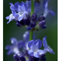 Lavandula angustifolia 'Sophia' - Vraie Lavande